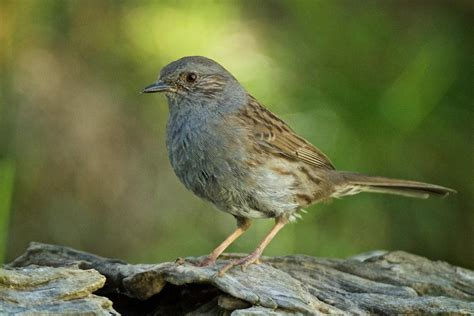dunnock new zealand birds online