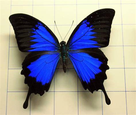 imagenes de mariposas de verdad mariposa con colores vivos imagui
