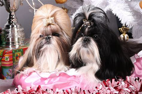 shih tzu feeding guide shih tzu puppies