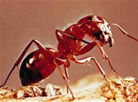 imagenes de hormigas rojas 191 c 243 mo viven las hormigas