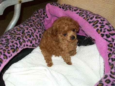 dogs for sale cumbria toy for dog toy for dog teacup toy poodle breeders puppies for sale in florida