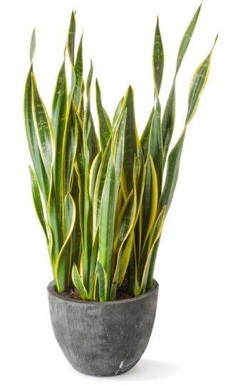 sansevieria trifasciata snake plant sansevieria trifasciata good luck indoor