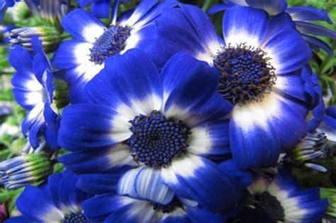 imagenes de rosas moradas y azules im 225 genes de flores con nombres tipos colores e