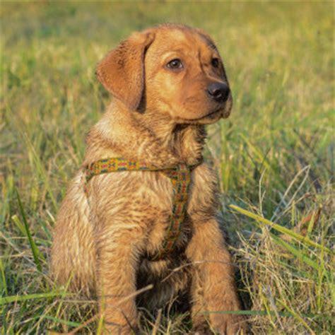 gun names for dogs gun names breeds picture