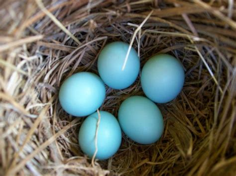 bluebird eggs color blue bird eggs blues aqua teal color