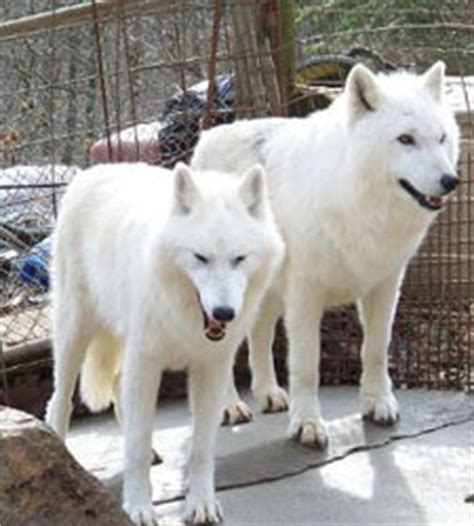 arctic wolf puppies for sale wolves for sale