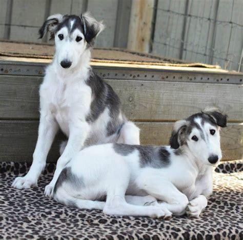 borzoi puppies borzoi info mixes temperament puppies pictures