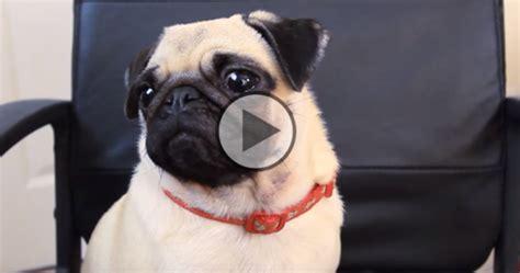 are pugs smart smart pug fan club