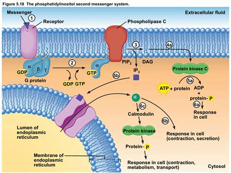 g proteins and second messengers phys chapter 5 biomedical science 334 with mockett at