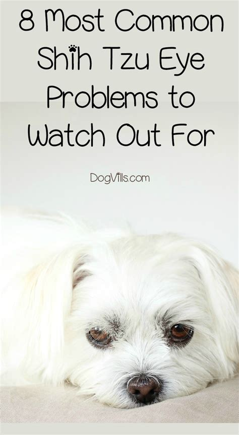 shih tzu eye infection 8 most common shih tzu eye problems to out for dogvills