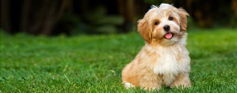 size of havanese havanese breed health history appearance temperament and maintenance
