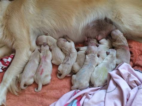 billings golden retrievers beautiful golden retriever puppies for sale billingshurst west sussex pets4homes