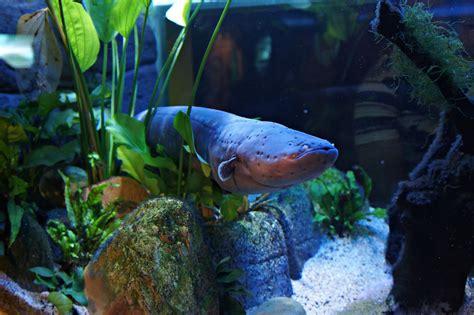 electric eel giant electric eel
