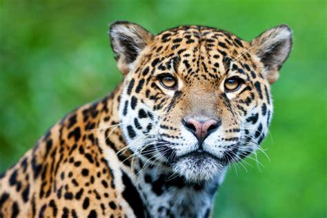 imagenes de jaguar mexicano el jaguar en mayor peligro de extinci 243 n de lo que se