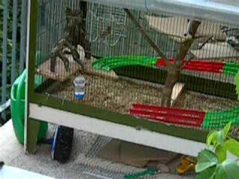 gabbia per scoiattoli giapponesi accoppiamento tamia scoiattoli giapponesi