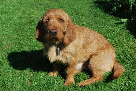 basset fauve de bretagne puppies lovely fauve de bretagne puppy photo and wallpaper beautiful lovely fauve de bretagne
