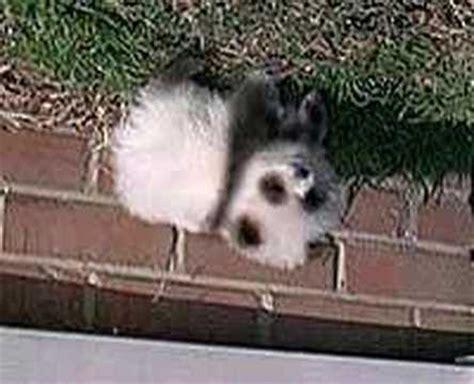 panda pomeranian pomeranian panda