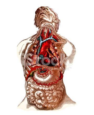 addome organi interni organi torace e dell addome xix secolo fotografie