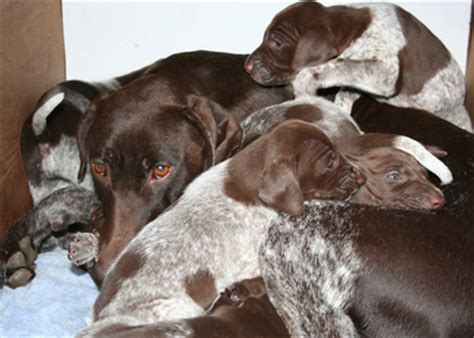 hi puppies 2 fenrik litter 2006 hi puppies canine sports and fenrik german shorthaired pointers
