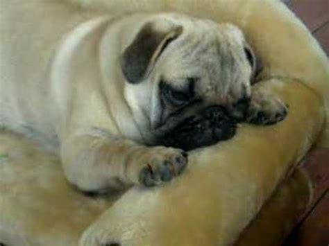 pug falling asleep pug puppy falling asleep pug