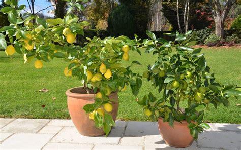 limoni in vaso coltivazione coltivazione limone in vaso giardini verdi