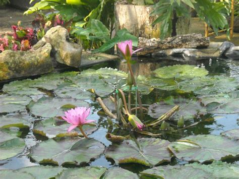 Palm Hammock Orchid Estate water lilies 5 palm hammock orchid estate inc