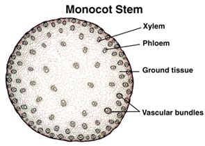 monocot leaf cross section labeled monocot stem anatomy biology pinterest reference