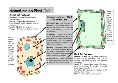 plant cell diagram and functions printable diagrams of animal cell diagram site