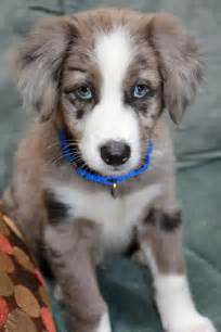 Everest the border collie puppies daily puppy