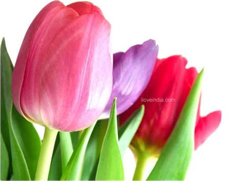 facts about tulips interesting amazing information on