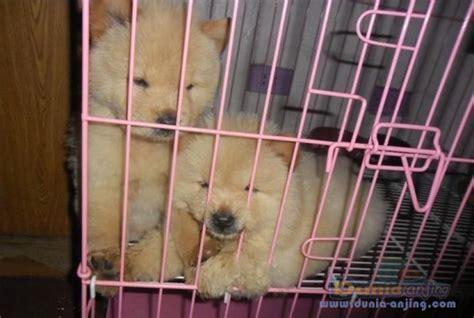 dunia anjing jual anjing chow chow anakan chow chow bloodline top quality