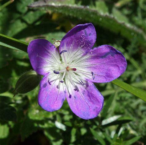 un fiore violetto omaggio floreale a darwin scienza in cucina le