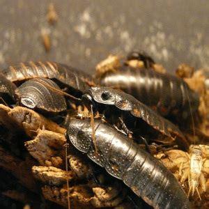 come eliminare le blatte in cucina come eliminare le blatte e gli scarafaggi arrangiamoci
