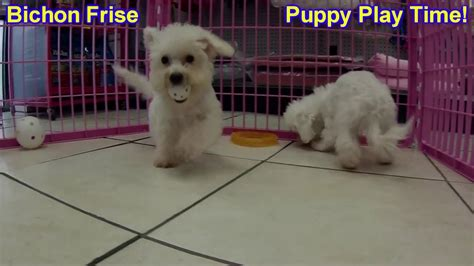 bichon frise puppies for sale in sc bichon frise puppies dogs for sale in charleston south carolina sc rock hill
