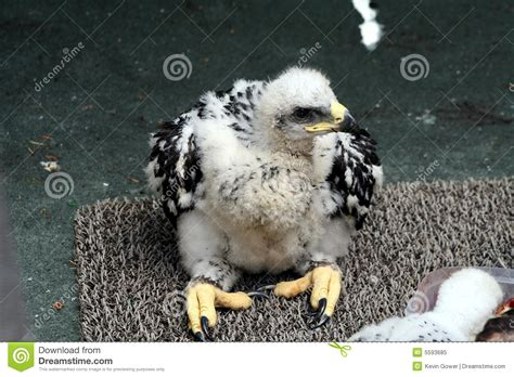 b3 the baby eagle based on a true story books baby golden eagle royalty free stock photo image 5593685