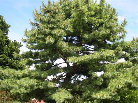 white pine tree care how to grow eastern white pine growing eastern white