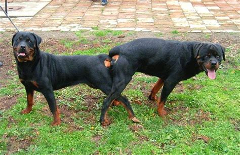rottweiler american vs german the gallery for gt pitbull puppy outline