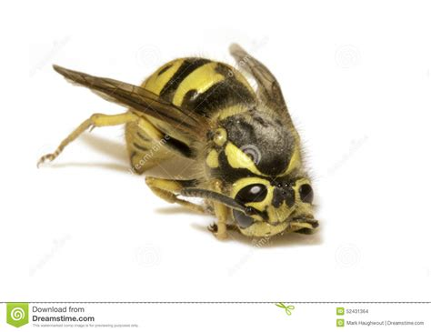 Yellow Bee bee on a white background closeup stock photo image 52431364