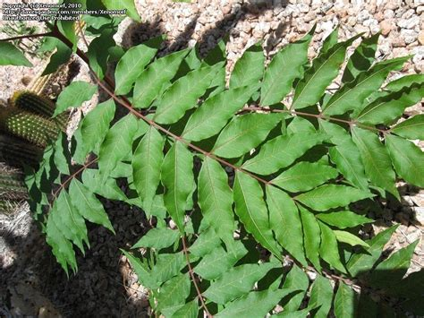 plant identification closed poison sumac or a different rhus species 1 by xenomorf