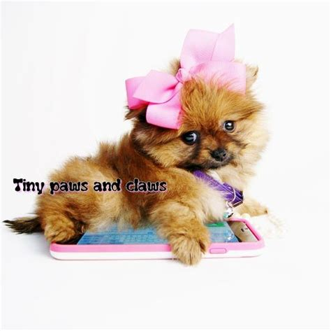 teacup pomeranian houston pomeranian puppies for sale in area breeds picture
