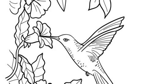 Hummingbird Coloring Page by Hummingbird Drinks Nectar Coloring Bee