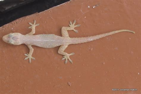 House Lizard by Geckos Reptiles And Hibians Of Bangkok