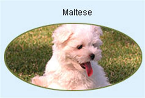 maltese puppies for sale in houston tx maltese puppies for sale houston tx area
