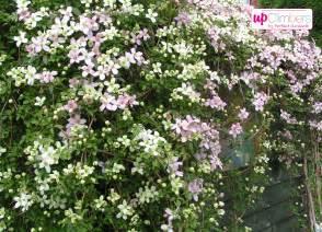 Climbing Flowering Plants Full Sun - clematis my perfect garden