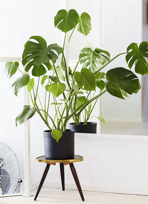 home interior plants monstera deliciosa design lovin