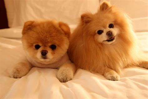 the cutest dogs in the world boo the cutest in the world cambriesworld