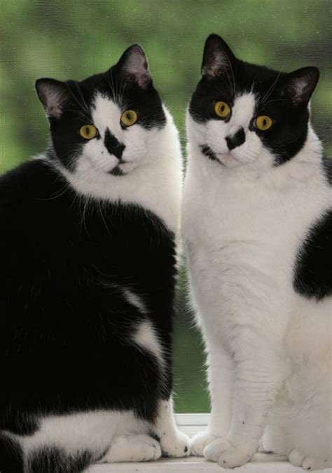 twin cats 104 best images about cats with strange markings on pinterest