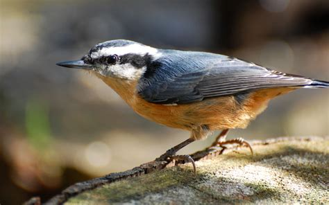suzanne britton nature photography red breasted nuthatch