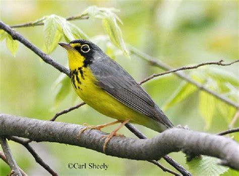tennessee watchable wildlife canada warbler habitat