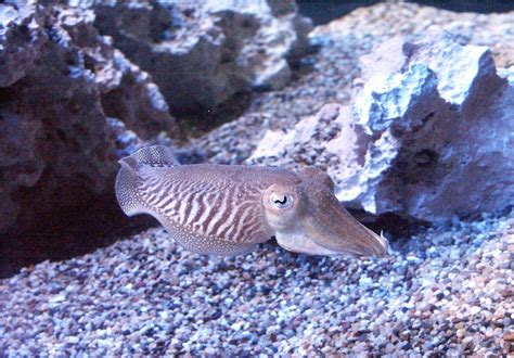Cuttlefish | Animal Wildlife